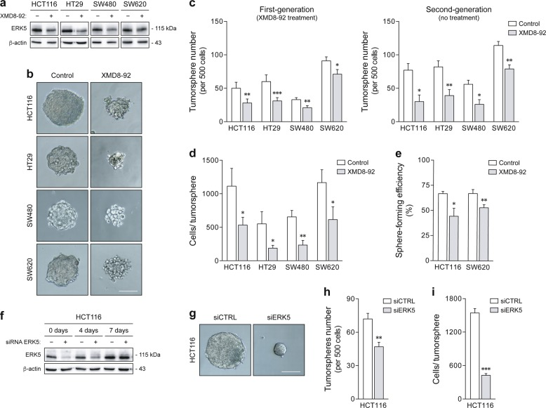 Pharmacological and genetic inhibition of ERK5 impairs sphere formation in colon cancer cells. a – e HCT116, HT29, SW480, and SW620 cells were cultured for two generations under sphere-forming conditions in the presence or absence of 4 µM XMD8-92. a The inhibitory effect of XMD8-92 on ERK5 activation was confirmed by western blot analysis. b Representative images of first-generation tumorspheres at ×100 magnification. Scale bar, 100 μm. c The rate of tumorsphere formation was measured in primary (with XMD8-92 treatment) and secondary cultures (without additional treatment). d Tumorsphere size was determined according to the number of cells per sphere in first-generation cultures. e Single-cell assays were performed using HCT116 and SW620 cells to validate the impact of XMD8-92 on clonal sphere formation. f – i HCT116 cells were transiently transfected with a specific small interfering RNA (siRNA) against ERK5, or control siRNA, and then cultured in non-adherent conditions. f ERK5 silencing was monitored by immunoblot analysis during the period of tumorsphere growth. g Representative images of 7-day tumorspheres at ×100 magnification. Scale bar, 100 μm. h Tumorspheres were scored according to number (left panel) and i size (cells per sphere; right panel). Results are expressed as mean ± standard error of mean from at least four independent experiments. * p