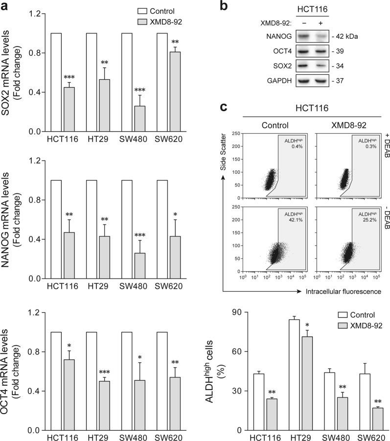 ERK5 pharmacological inhibition suppresses colon cancer stem-like cell molecular features. HCT116, HT29, SW480, and SW620 cells were cultured under sphere-forming conditions in the presence of 4 µM XMD8-92 or dimethyl sulfoxide vehicle control. a The mRNA levels of stemness-associated transcription factors were determined by qRT-PCR. b Steady-state protein levels of NANOG, OCT4, and SOX2 were confirmed by immunoblot analysis in HCT116-derived tumorspheres. Blots are representative of three independent experiments with similar results. c The percentage of cells with high aldehyde dehydrogenase (ALDH) activity was determined by flow cytometry using the Aldefluor assay. Representative side scatter versus green fluorescence intensity plots for HCT116 cells are shown. Results are expressed as mean ± standard error of mean from at least three independent experiments. * p