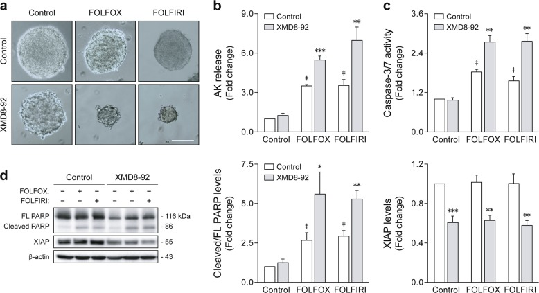ERK5 pharmacological inhibition sensitizes colon cancer stem-like cells to 5-fluorouracil (5-FU)-based chemotherapy. HCT116 cells were grown for 7 days under sphere-forming conditions, and then treated for 4 days with FOLFOX (50 µM 5-FU plus 1.25 µM oxaliplatin) or FOLFIRI (50 µM 5-FU plus 1 µM irinotecan) alone or in combination with 4 µM XMD8-92. a Representative images of chemotherapy-treated tumorspheres at ×100 magnification. Scale bar, 100 μm. b Cell death was evaluated according to adenylate kinase (AK) release using the Toxilight assay. c Caspase-3/7 activity was measured using the Caspase-Glo 3/7 assay. d PARP cleavage and XIAP degradation were evaluated by western blot analysis. Results are expressed as mean ± standard error of mean from at least four independent experiments. ‡ p
