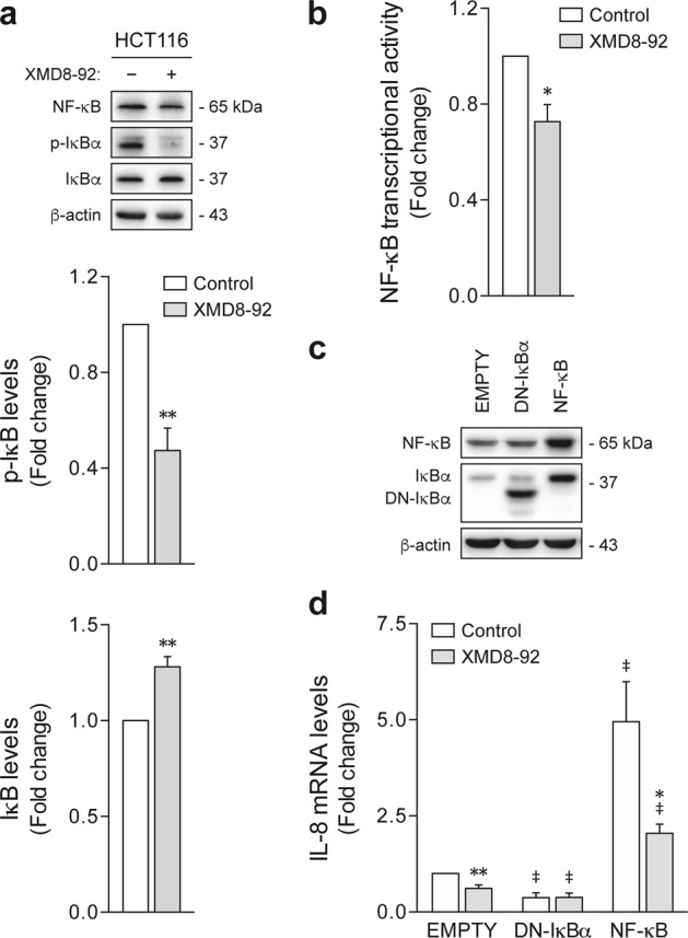 ERK5 pharmacological inhibition blocks NF-kB/IL-8 signaling. a HCT116 cells were cultured for 7 days under sphere-forming conditions in the presence of 4 µM XMD8-92 or dimethyl sulfoxide (DMSO) vehicle control. IκB phosphorylation levels were evaluated by western blot. b Nuclear factor-κB (NF-κB) transcriptional activity was assayed using an inducible luciferase reporter system. c , d HCT116 cells were transfected with NF-κB p65 or DN-IκBα expression constructs, and empty vector, and then treated for 48 h with 4 µM XMD8-92. DMSO was used as vehicle control. c NF-κB and IκBα overexpression was confirmed by immunoblotting. d IL-8 mRNA levels were determined by qRT-PCR. Results are expressed as mean ± standard error of mean from three independent experiments. * p