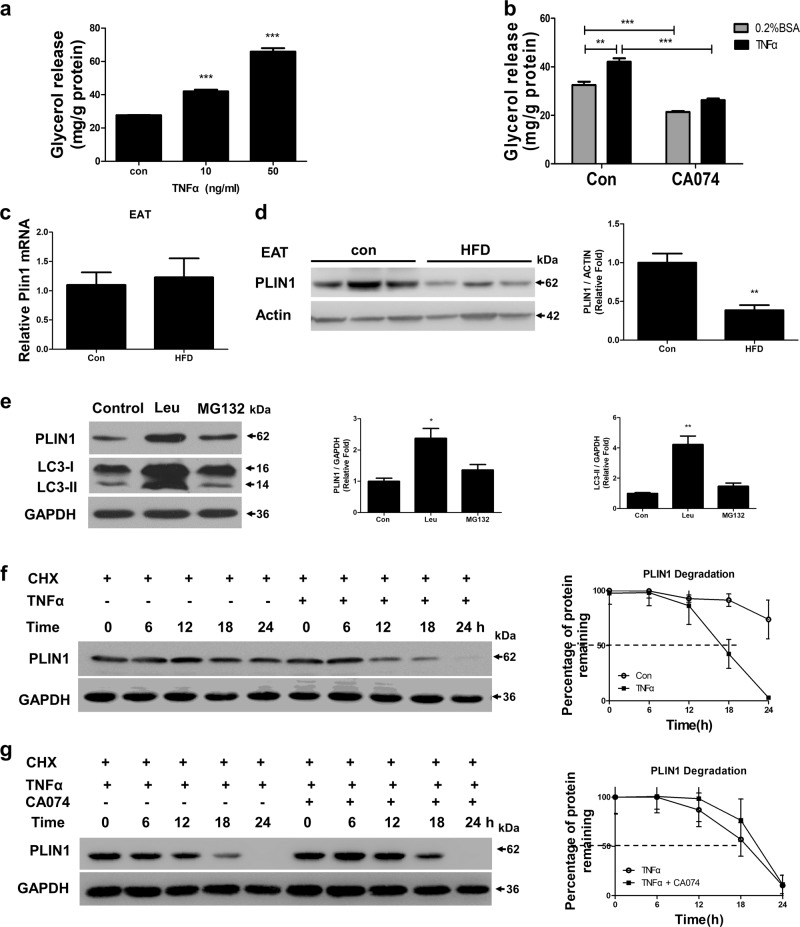 TNFα increased basal lipolysis and degraded PLIN1, which requires Cathepsin B a <t>3T3-L1</t> adipocytes were individually treated with 10 ng/ml and 50 ng/ml TNFα for 3 h, then media was removed for glycerol measurement. b 3T3-L1 adipocytes were stimulated with 10 ng/ml TNFα for 3 h with or without 1 h CA074 pre-treatment, then media was removed for glycerol measurement. c–d C57BL/6 mice were fed a HFD or standard chow for 24 weeks, then expression levels of PLIN1 in EAT were determined by qRT-PCR c and western blot d ( n = 6). e 3T3-L1 adipocytes were treated with the proteasome inhibitor MG-132 (10 μ m ) or the lysosomal protease inhibitor leupeptin (Leu; 10 μg/ml) for 24 h, then the content of PLIN1 were assessed by western blot. f PLIN1 stability in response to TNFα (10 ng/ml) was evaluated in a cycloheximide <t>(CHX,</t> 100 μg/ml) chasing experiment. Immunoblot of perilipin after 6, 12, 18, and 24 h treatments with CHX in adipocytes. g Adipocytes were stimulated with TNFα (10 ng/ml) in the presence or absence of CA074 treatment (10 µ m ). Immunoblotting of PLIN1 was perform after treatment with CHX for 6, 12, 18, and 24 h. ** p