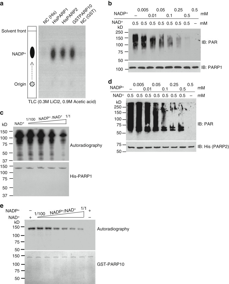 NADP + suppresses poly(ADP-ribose) polymerase (PARP) activity in vitro. a PARPs can bind to NADP + . HIS-PARP1, HIS-PARP2, and GST-PARP10 were immobilized on Ni Sepharose and glutathione S -transferase (GST) beads respectively, followed by incubating with [ 32 P]NADP + . [ 32 P]NADP + was heat-released from Ni Sepharose or GST beads and examined by thin-layer chromatography. As the negative controls (NC), Ni Sepharose or GST beads without recombinant PARP proteins was incubated with [ 32 P]NADP + . b , c NADP + suppresses PARP1's activity in vitro. In vitro PAPR1-mediated PARylation assay was performed using different ratio of NADP + /NAD + . Auto-PARylation of PARP1 was examined by western blotting ( b ). [ 32 P]NAD + was used as the donor in PARP1-mediated in vitro PARylation assay. The auto-PARylation of PARP1 was examined by autoradiography. Coomassie staining of His-PARP1 was shown as the loading control ( c ). d NADP + suppresses PARP2 in vitro. Auto-PARylation of PARP2 was examined by western blotting with the indicated antibody. e NADP + suppresses PARP10 in vitro. Auto-MARylation level of PARP10 was examined by autoradiography