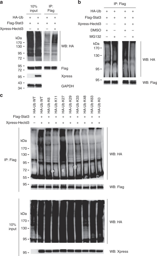 Hectd3 promotes non-degradative K27-linked polyubiquitin chains on Stat3. a Immunoblot of HA, Flag, Xpress, and GAPDH following Flag immunoprecipitation of protein extracts from HEK293T cells co-transfected as indicated with HA-Ub, Flag-Stat3, and Xpress-Hectd3. b Immunoblot of HA and Flag following immunoprecipitation of protein extracts from HEK293T cells co-transfected as indicated with HA-Ub, Flag-Stat3, and Xpress-Hectd3 vectors and treated for 4 h with 20 μM MG132 prior to protein extraction. c Immunoblot of HA and Flag following two-step Flag immunoprecipitation of protein extracts from HEK293T cells co-transfected with the indicated HA-Ub K only mutants, Flag-Stat3, and Xpress-Hectd3. HA-Ub K only mutants denote that the only lysine in the HA-tagged ubiquitin is at the indicated residue, and all other lysine residues are mutated to arginine. HA-Ub K0 mutant has all seven lysine residues mutated to arginine. a – c Immunoblots are representative of three independent experiments. Source data are provided as a Source Data file