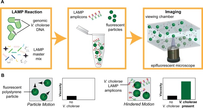Illustration of PD-LAMP set-up. ( A ) The LAMP assay is performed in the presence of V . cholerae DNA (left). LAMP amplicons combined with polystyrene fluorescent particles (middle) are imaged under fluorescence microscopy (right). ( B ) Relationship of particle motion and viscosity. Particles undergo Brownian motion in a solution (left). In the presence of LAMP amplicons, the viscosity of the solution increases and particles experience hindered motion, indicating the presence of V . cholerae DNA in the sample (right).