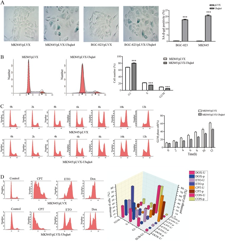 Ubqln4 induces cellular senescence and cell cycle arrest. a Induction of cellular senescence by Ubqln4 overexpression. Senescence-associated β-galactosidase (SA-β-Gal) staining was performed in MKN45 and BGC-823 stable cell lines overexpressing Ubqln4 and the respective controls. Data represents mean ± SD of triplicate assays. Student's t -test, *** P