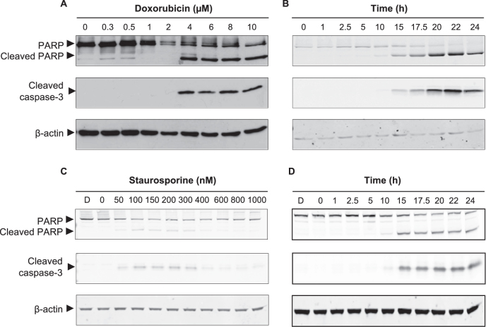 Activation of caspase-3 in 4T1 and SCC cells. (A) Cell lysates from 4T1 cells treated with increasing concentrations of doxorubicin for 24 h, or (B) 4T1 cells treated with 4 μ M doxorubicin for given time periods, or (C) SCC cells treated with increasing concentrations of staursporine for 24 h, or (D) SCC cells treated with 250 nM staurosporine for given time periods, were subjected to western blot analysis using cleaved caspase-3 and PARP antibodies. All membranes were stripped and re-probed with β -actin as a loading control.