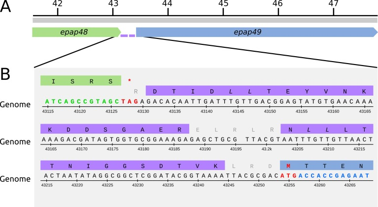 Putative fusion protein Epap48-Epap49. (A) Genomic locus containing epap48 (green) and epap49 (blue) genes. The two peptides detected by MS inside the intergenic region are depicted in purple. (B) Genome sequence and translation frame for each gene. Start and stop codons are shown in red (nucleotide numbers are those from NCBI accession number NC_018875).