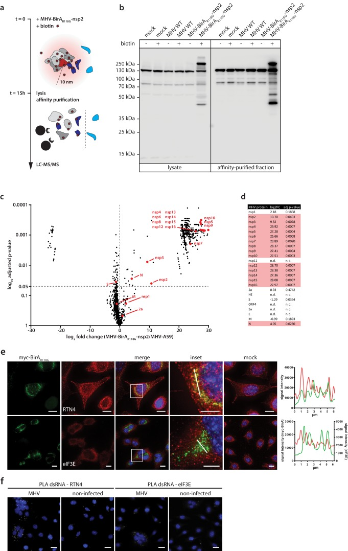 Determination of the coronavirus RTC-proximal proteome. ( a ) Schematic overview of the BirA R118G -mediated proximity biotinylation assay using MHV-BirA R118G -nsp2. ( b ) Western blot analysis of MHV-BirA R118G -nsp2-infected L929 cells. L929 cells were infected with MHV-BirA R118G -nsp2, MHV-A59 or non-infected in medium with and without supplementation of 67 µM biotin. Cells were lysed 15 h.p.i. and biotinylated factors were subjected to affinity purification using streptavidin-coupled magnetic beads. Total cell lysates and affinity-purified fractions were separated by SDS-PAGE and analysed by western blot probed with horse radish peroxidase (HRP)-coupled Streptavidin. ( c ) Host and viral factors identified by LC-MS/MS. 4*10 7 L929 cells were infected with MHV-BirA R118G -nsp2 or MHV-A59 in medium supplemented with 67 µM biotin. 15 h.p.i., lysates were affinity purified and LC-MS/MS was performed from in-gel digested samples. MS identification of biotinylated proteins was performed in three independent biological replicates. Spectral interpretation was performed against a Mus musculus and MHV database and log 2 -transformed LFQ levels (x-axis) were used to determine significant differences in protein enrichment between sample groups (Student's T-test, y-axis). Identified cellular proteins are displayed as black dots, MHV proteins are highlighted in red (nsp: non-structural protein, N: nucleocapsid, S: spike, M: membrane, 2a: accessory protein 2a). ( d ) Summary of viral proteins identified by LC-MS/MS. nsp2-10, nsp12-16, and nucleocapsid were significantly enriched in fractions derived from MHV-BirA R118G -nsp2-infected cells whereas nsp1, nsp11, structural proteins spike ( S ), envelope ( E ) and membrane proteins ( M ) as well as all accessory proteins (NS2a, HE, ORF4, ORF5a) were either not significantly enriched or not detected. ( e,f ) Immunofluorescence analysis of RTC-proximal cellular factors. L929 cells were seeded on coverslips, infected with MHV-BirA