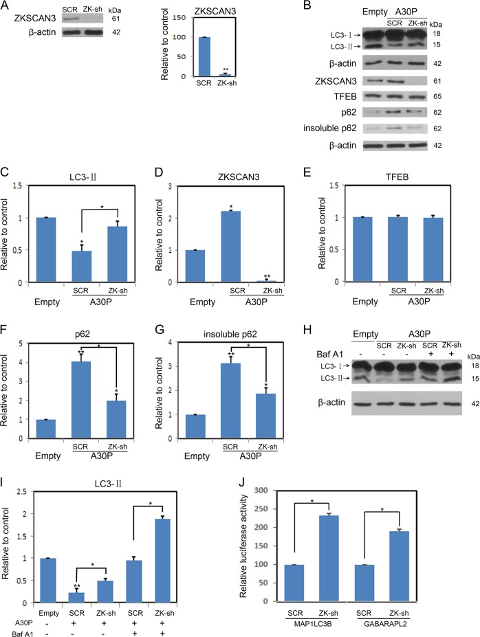 ZKSCAN3 is required for autophagy inhibition induced by A30P α-synuclein. a ZKSCAN3 shRNA apparently inhibited ZKSCAN3 levels. b Representative immunoblots of lysates from midbrain dopaminergic neurons expressing A30P α-synuclein were infected with either a scramble (SCR) or ZKSCAN3 shRNA virus. Total protein extracts were immunoblotted for LC3, ZKSCAN3, TFEB or p62. c – g Shown is the densitometric quantification of corresponding protein levels described in b . h Midbrain dopaminergic neurons expressing A30P α-synuclein were infected with either a SCR or ZKSCAN3 shRNA virus. Then, neurons were treated with and without <t>Bafilomycin</t> A1 (BafA1, 10 nM) for 12 h. LC3-I/II levels were analyzed by immunoblotting. i The histogram plot shows the densitometric quantification of LC3-II levels. j Luciferase reporter assay for MAP1LC3B or GABARAPL2 constructs in midbrain dopaminergic neurons expressing A30P α-synuclein stably transfected either scramble (SCR) or ZKSCAN3-shRNA virus. Values are shown as mean ± SEM ( n = 3). Immunoblots are representative of n = 3. * P