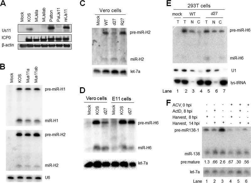 Impairment of miRNA biogenesis is dependent on ICP27 and viral DNA synthesis but not on Us11. (A) Us11 expression from WT and mutant viruses. 293T cells were infected with the viruses indicated at the top of the panel (MOI = 5) and harvested at 16 hpi for Western blot analysis. The proteins analyzed are identified to the left of the panel. This experiment was performed three times. (B) Us11 deletion does not affect viral miRNA biogenesis. 293T cells were infected (MOI = 5) with the viruses indicated at the top of the panel. At 16 hpi, cells were harvested and analyzed by Northern blot hybridization for miR-H1 and miR-H2 expression. This experiment was performed several times. (C) Effects of ICP27 deletion on miR-H2 biogenesis. Vero cells were mock infected or infected (MOI = 20) for 24 h with the viruses indicated at the top of the panel. Pre-miR-H2 and miR-H2 expression (top panel) and let-7a expression (bottom) were analyzed by Northern blot hybridization. This experiment was performed twice. (D) Effects of ICP27 deletion on miR-H6 biogenesis in Vero and E11 cells. Vero cells, or E11 cells, which complement ICP27 expression, were infected with the viruses indicated at the top of the panel (MOI = 20) for 24 h, when the cells were analyzed by Northern blot hybridization for miR-H6. Expression of let-7a as a loading control is shown at the bottom. This experiment was performed twice. (E) Relief of the block of nuclear export in the absence of ICP27. 293T cells were mock infected (lane 1) or infected with the viruses indicated at the top of the panel. At 12 hpi, total RNA was isolated from infected cells (T; lanes 1, 2, and 5) or from nuclear (N; lanes 3 and 6) or cytoplasmic (C; lanes 4 and 7) fractions and analyzed as described for Fig. 6 for miR-H6, U1, and lys-tRNA (as indicated to the right of the panel). This experiment was performed twice. (F) Effects of ACV and ActD on miRNA biogenesis. 293T cells were infected (MOI = 5) with WT-BAC (lane 1) as a negative control for miR-138 expression or with WTLyt138 (lanes 2 to 7), as indicated in the top two lines of the panel. Plus signs (+) on the next two lines indicate treatment with ACV at the time of infection (lanes 5 to 7) or with ActD at 8 hpi (lanes 3 and 6), respectively. ACV was added to block viral DNA synthesis, and ActD was added to block RNA synthesis to help assess the stability of pre-miR-138 and mature miR-138. Plus signs on the next two lines indicate whether infected cells were harvested for RNA isolation at 8 hpi (lanes 2 and 5) or 14 hpi (lanes 1, 3, 4, 6, and 7). The image below shows the results of Northern analysis of expression of pre-miR-138-1 and miR-138, as indicated to the left. Pre/mature ratios calculated following band quantification are displayed below the image. let-7a levels as loading controls are shown at the bottom. This experiment was performed twice.