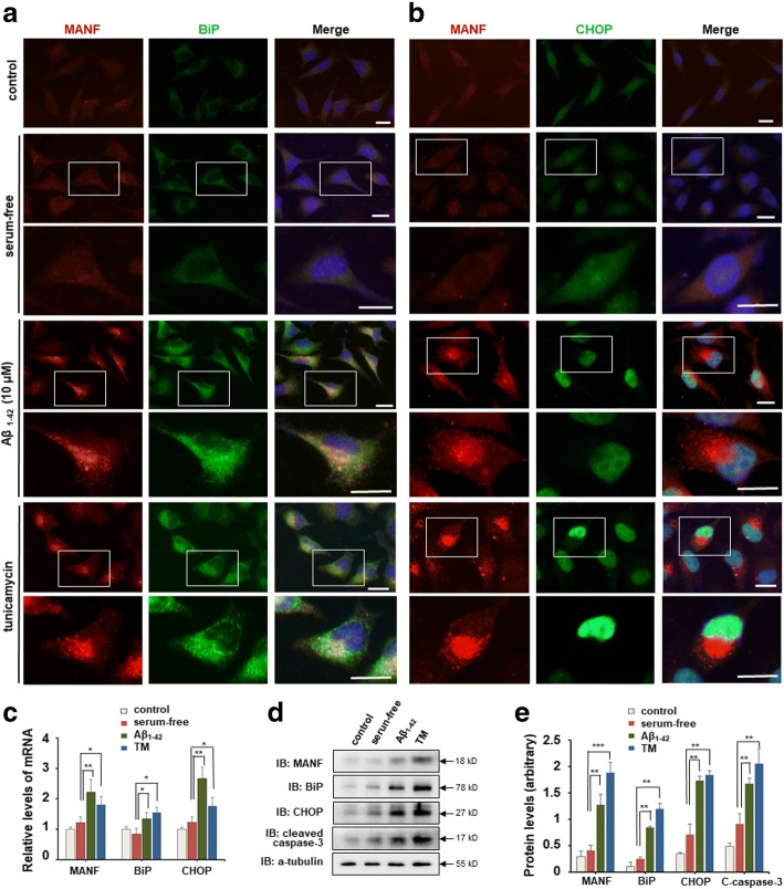 Aβ 1–42 induces ER stress and up-regulated MANF expression in SH-SY5Y cells. a Representative images of MANF (red) and BiP (green) immunofluorescence labeling of SH-SY5Y cells incubated with DMEM containing 10% FBS, serum-free DMEM, and DMEM containing Aβ 1–42 (10 μM) for 24 h, or DMEM containing tunicamycin (TM) (2.5 μg/ml) for 12 h, respectively. The nuclei were stained with DAPI (blue). The enlarged images show the expression and cellular distribution of MANF and BiP, respectively. Scale bar = 10 μm. b Representative images of MANF (red) and CHOP (green) immunofluorescence labeling of SH-SY5Y cells incubated with 10% FBS, serum-free DMEM, and DMEM containing Aβ 1–42 (10 μM) for 24 h, or DMEM containing TM (2.5 μg/ml) for 12 h, respectively. The enlarged images show the expression and cellular distribution of MANF and CHOP, respectively. Scale bar = 10 μm. c Quantitation of MANF , BiP , and CHOP mRNA levels in SH-SY5Y cells treated with DMEM containing 10% FBS, serum-free DMEM, DMEM containing Aβ 1–42 (10 μM) for 24 h, or DMEM containing TM (2.5 μg/ml) for 12 h, respectively. <t>GAPDH</t> was used as control. d The protein levels of MANF, BiP, CHOP, and cleaved caspase-3 in SH-SY5Y cells treated as indicated. <t>α-tubulin</t> was used as a loading control. e Quantitation of protein levels normalized to the α-tubulin by densitometry in d. All the quantitative data were presented as mean ± SD of at least three independent experiments.* P