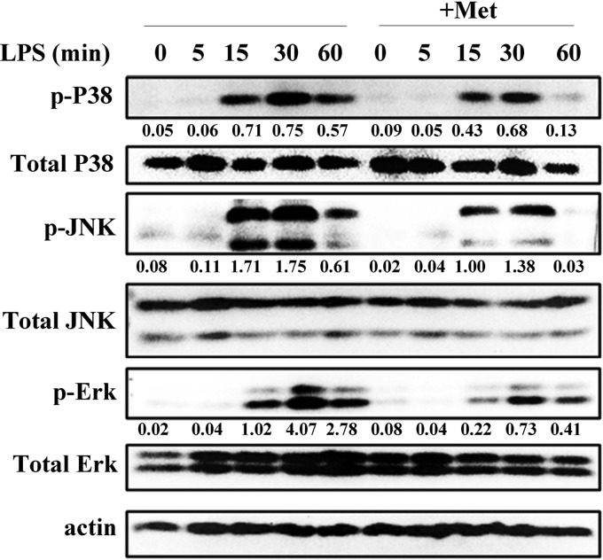 Met inhibits the LPS-induced phosphorylation of mitogen-activated protein kinases (MAPK) in RAW 264.7 macrophages. RAW 264.7 cells were cultured for 12 h with Met (10 mM) and then treated with LPS (100 ng/mL) for 0, 5, 15, 30, and 60 min. Western blotting assays for phospho-ERK1/2 (p-ERK1/2), ERK1/2, p-JNK, JNK, p-p38, and p38 were performed. β-Actin was used as the loading control. Levels for target phosphorylated proteins were normalized to total proteins. All data shown are representative of three independent experiments.
