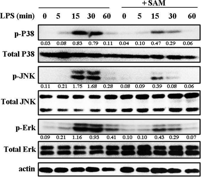 SAM inhibits the LPS-induced phosphorylation of MAPKs in RAW 264.7 macrophages. RAW 264.7 cells were cultured for 12 h with SAM (0.5 mM) and then treated with LPS (100 ng/mL) for 0, 5, 15, 30, and 60 min. Western blotting assays for phospho-ERK1/2 (p-ERK1/2), ERK1/2, p-JNK, JNK, p-p38, and p38 were performed. <t>β-Actin</t> was used as the loading control. Levels for target phosphorylated proteins were normalized to total proteins. All data shown are representative of three independent experiments.