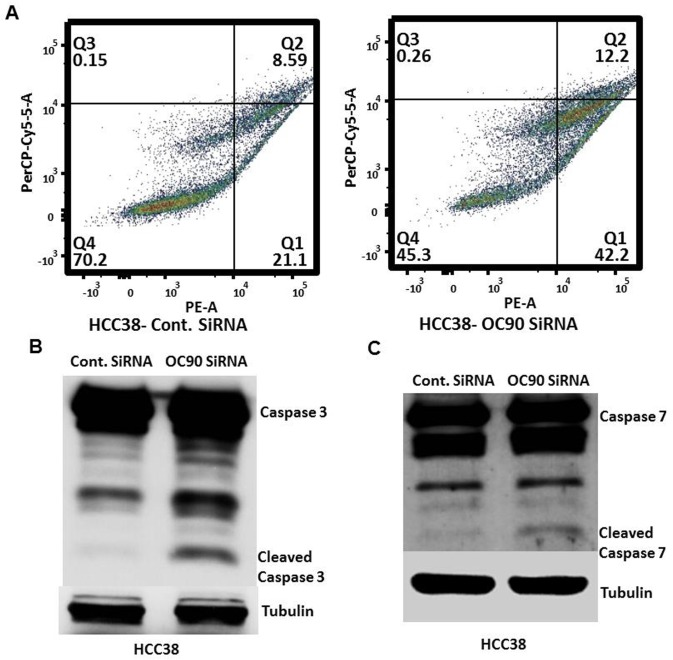 OC90 siRNA treatment promotes apoptosis in HCC38 cells. A) Flow cytometry graphs showing distribution of HCC38 cells based on Annexin V (PE, X-axis) and 7-AAD (PerCP-Cy5.5, Y-axis) intensity 72 hours after control siRNA or OC90 siRNA treatment. B) C) Western blot showing increase in cleaved Caspase 3 7 (respectively) in HCC38 cell line after OC90 knockdown. Based on these findings, significant reduction in cellular viability in TNBC cell lines after OC90 knockdown may be due to its function as an anti-apoptotic gene in TNBC and may also have some role in cellular proliferation.