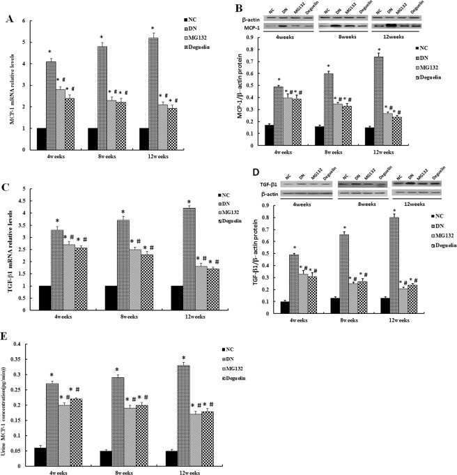Effect of MG132 on inflammatory cytokine expression in DN rats. MCP-1 mRNA expression was examined by RT-PCR ( A ), and MCP-1 ( B ) protein expression levels were determined using Western blot. In DN rats, the levels of MCP-1 were significantly higher than in NC rats and were reduced after administration of MG132 and deguelin for the indicted time. TGF-β1 mRNA expression was examined by RT-PCR ( C ), and TGF-β1 ( D ) protein expression levels were determined using Western blot. In DN rats, the relative levels of TGF-β1 were significantly higher than in NC rats and were reduced after administration of MG132 and deguelin for the indicted time. In DN rats, the concentration of urine MCP-1 was significantly higher than in NC rats and was reduced after administration of MG132 and deguelin for the indicted time ( E ). NC: normal control group; DN: diabetic nephropathy group; MG132: diabetic nephropathy plus MG132 treatment group; Deguelin: diabetic nephropathy plus deguelin treatment group. Means ± SEM; N = 6; * P