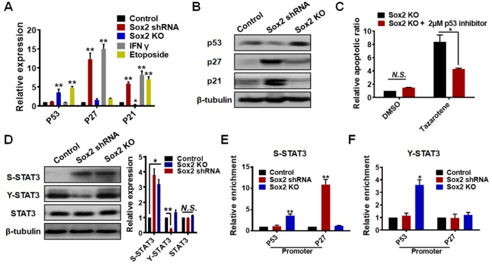 Dormancy exit is mediated via STAT3 and p53 activation. (A) p53 , p27 , or p21 expression was quantified by real-time PCR. Total mRNAs of control B16 cells, B16 cells transfected with Sox2 shRNA, Sox2-KO cells, or cells treated with IFN-γ (100 ng/ml) or treated with Etoposide (a DNA re-ligation inhibitor, 50 μM) were extracted. The values represent mean ± SEM from three independent experiments. (B) Western blotting analysis of p53, p27, or p21 protein level in control B16 cells, B16 cells transfected with Sox2 shRNA, or Sox2 KO cells from three independent experiments. (C) Sox2 knockout cells, with or without the p53 inhibitor, Pifithrin (2 μM), were treated with 0.1% DMSO or Tazarotene (100 μM) for 3 days in 90-Pa fibrin gels. The cell apoptotic ratio was measured by flow cytometry. The values represent mean ± SEM from three independent experiments. (D) Representative images and quantitative analysis of S-STAT3 (phospho-S727), Y-STAT3 (phospho-Y705), or total STAT3 expression in control B16 cells, B16 cells transfected with Sox2 shRNA, or Sox2-KO cells by western blotting. The values represent mean ± SEM from three independent experiments. N.S. : not statistically significant. (E, F) ChIP (chromatin immunoprecipitation) assays were performed using normal rabbit IgG (negative control), S-STAT3, or Y-STAT3 antibody on control Sox2 shRNA and Sox2-KO cell lysates. Two sets of primers were used for p27 and p53 promoter regions. Relative enrichment was determined by real time PCR. The values represent mean ± SEM ( n = 3). * P