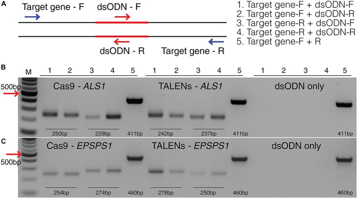 Detection of dsODNs integration in ALS1 and EPSPS1 by PCR. (A) dsODN insertion is shown at the DSB induced by SSN in target genes and arrows represent the primers used to detect the on-target activity of the dsODN ( Supplementary Table S2 ). The order of PCR reactions for each SSN is shown (B) Gel image showing dsODN integration at ALS1 and (C) EPSPS1 . Target genes have been amplified using dsODN specific primer and gene specific primer. dsODN only is wild type/negative control without nuclease but with dsODNs to account for background DSBs. PCR amplicon sizes assuming one dsODN integration are given. DSB, double stranded break; M, NEB 100 bp ladder.