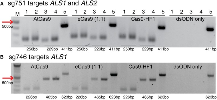 Detection of dsODNs integration by PCR using AtCas9, eCas9 (1.1) and Cas9-HF1 targeting ALS1 and ALS2 . Gel images showing dsODN integration at ALS locus at the DSB induced by variants of Cas9 including AtCas9, eCas9(1.1) and Cas9-HF1. (A) sg751 targets both ALS1 and ALS2 and (B) sg746 is specific for ALS1 ( Supplementary Table S3 ). The order of PCR reactions for each SSN is according to Figure 6A . dsODN only is wild type/negative control without nuclease but with dsODNs in the protoplast transformation reactions to account for background DSB. PCR amplicon sizes assuming one dsODN integration are given which are same for all Cas9 variants. eCas9(1.1), enhanced specificity Cas9; Cas9-HF1, high fidelity Cas9. M, 100 bp NEB ladder.