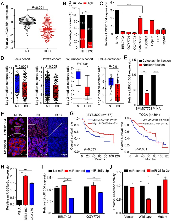 LINC01554 is frequently downregulated in HCCs. (A) Relative expression level of LINC01554 detected by qRT-PCR in 167 HCC tissues and adjacent non-tumor tissues. Expression of β-actin was used as an internal control. (B) LINC01554 expression fractions in 167 HCC tissues and adjacent non-tumor tissues. (C) Relative expression level of LINC01554 detected by qRT-PCR in an immortalized liver cell line (MIHA) and HCC cell lines. Expression of β-actin was used as internal control. (D) RNA sequencing expression of LINC01554 was analyzed in different cohorts, including Lee's cohort, Llovet's cohort, Wurmbach's cohort in oncomine ( https://www.oncomine.org ), and TCGA database. (E) Nuclear and cytoplasmic fractions of LINC01554 in MIHA cells and SMMC7721 cells determined by qRT-PCR with U6 or β-actin as a nuclear or cytoplasmic internal control. (F) Representative images of subcellular localization of LINC01554 (red) in MIHA cells, HCC tissues and adjacent non-tumor tissues detected by RNA FISH. Nuclei were stained with DAPI (blue). Scale bar, 20 μm in image of MIHA cells and 50 μm in images of adjacent non-tumor and HCC tissues. (G) Kaplan-Meier analysis revealed that low expression of LINC01554 was related to poorer overall survival of HCC patients in both SYSUCC cohort (n = 167, P = 0.035) and TCGA database (n = 364, P