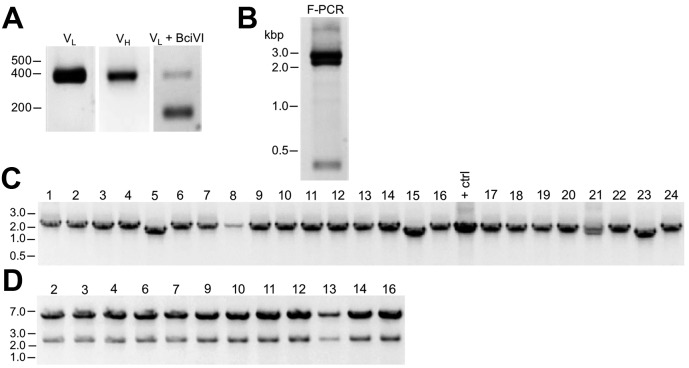 Cloning of anti-Kv2.1 D3/71 V L and V H domain cDNAs from a nonviable hybridoma. ( A ) Agarose gel analysis of PCR amplified V L and V H domains from cDNA synthesized from RNA extracted from the non-viable D3/71 hybridoma. The panel to the right shows the V L after digestion with the BciVI restriction enzyme to cleave the Sp2/0-Ag14-derived aberrant light chain product. The expected size of mouse IgG V L and V H domains is ≈360 bp, and of the cleaved aberrant V L domain is ≈180 bp. ( B ) Agarose gel analysis of D3/71 V H and digested V L fragments joined by fusion PCR (F-PCR) to the P1316 joining fragment to create a dual IgG chain cassette. ( C ) Agarose gel analysis of colony PCR samples of transformants from the of D3/71 R-mAb project. ( D ) Agarose gel analysis of products of restriction enzyme digestion of D3/71 plasmid DNA with NotI and AscI. The plasmid backbone is seven kbp, and the intact insert comprising the V L and V H domains and the intervening joining fragment is 2.4 kbp.