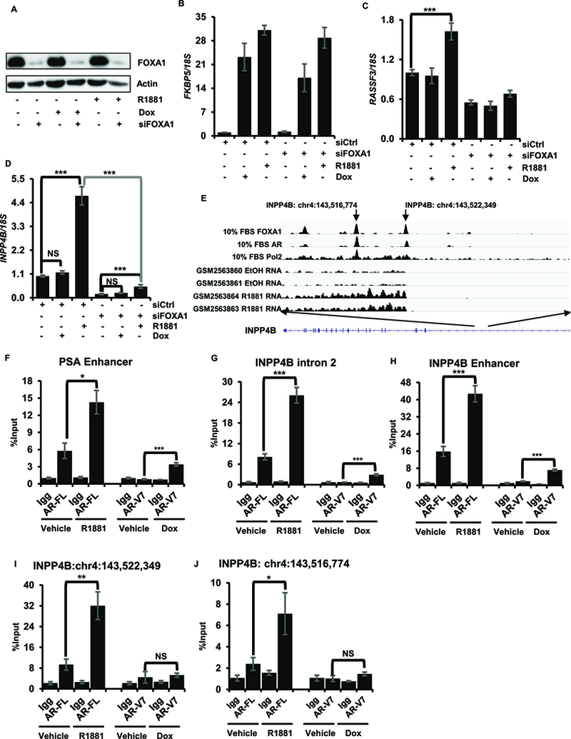 INPP4B transcription is regulated by full length AR and FOXA1. LNCaP cells in 10% CSS were transfected with noncoding control or FOXA1 specific siRNA; cells were treated with R1881 after 24 hours. Cells were harvested after 48 hours and assayed for FOXA1 expression by western blotting (A), RNA isolated and assayed for FKBP5 (B), RASSF3 (C), and INPP4B (D). ( E) A diagram of AR, FOXA1, and Pol2 recruitment and RNA-seq in LNCaP cells. (F-J) LNCaP AR-V7/pHage cells were placed in medium with 10% CSS for 24 hours and treated with 50 ng/ml Dox or 10 nM R1881 overnight as indicated. Recruitment of AR-FL and AR-V7 to PSA enhancer (F), INPP4B intron 2 (G), INPP4B enhancer region (H), INPP4B transcription start site chr4:143522349 (I), and chr4:143514774 (J) were measured by ChIP-qPCR using Igg as control. * p