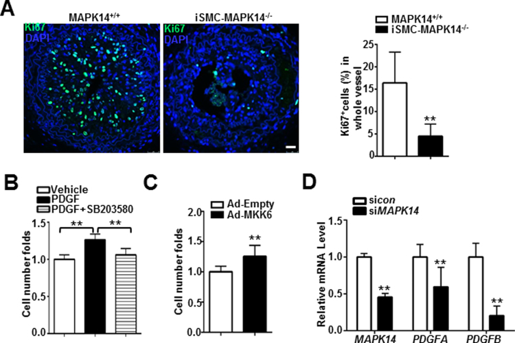 Deficiency of MAPK14 in VSMCs suppresses VSMC proliferation. A) Representative photomicrographs of immunofluorescence staining for a proliferation marker, Ki67 in carotid arteries isolated at 2 weeks after ligation from MAPK14 +/+ and iSMC-MAPK14 -/- mice (Left). The percentage of Ki67 + cells in injured carotid arteries was shown (right). Data shown are mean ± SD, n = 5. Scale bar: 20 µm. B) HASMCs were starved overnight followed by treatment with 5 μM SB203580 or vehicle control for 30 min prior to stimulation with 50 ng/ml PDGF. Cells were counted by hemocytometer at 24 h after PDGF stimulation. C) Growing HASMCs were transduced with adenovirus carrying a constitutively active form of MKK6 (Ad-MKK6) or equal amount of control adenovirus (Ad-Empty) for 72 h before cell counting as above. Cell proliferation was defined as fold change compared to vehicle control (set to 1). D) HCASMs were transfected with si MAPK14 or siRNA control (si con ) for 72 h before RNA isolation for qRT-PCR of the indicated genes. Data shown in B–D are mean ± SD and are representative of 3 separate experiments. * P