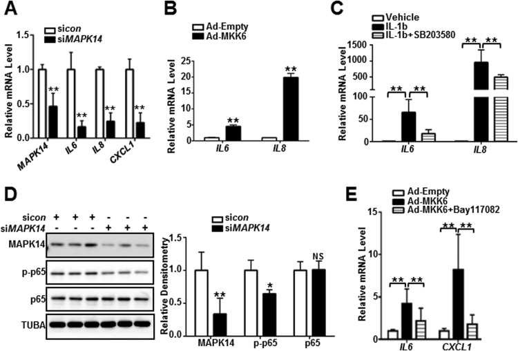 MAPK14-activated proinflammatory gene program is p65/NF-κB-dependent. A) HCASMCs were transfected with si MAPK14 or siRNA control (si con ) for 72 h before RNA isolation for qRT-PCR of the indicated genes. B) HASMCs were transduced with Ad-MKK6 or equal amount of control virus (Ad-Empty) for 72 h followed by RNA isolation for qRT-PCR assessment of the indicated genes. C) HASMCs were pretreated with 10 μM of <t>SB203580</t> for 30 min prior to 4 ng/ml IL-1b stimulation for 24 h. RNA was isolated for the assessment of the indicated genes by qRT-PCR. D) HCASMCs were transfected with si MAPK14 or si con for 72 h followed by western blotting for the indicated proteins (Left) and its densitometric analysis of protein levels normalized to loading control TUBA (right). E) HASMCs were pretreated with 5 μM of Bay117082 for 45 min prior to Ad-MKK6 or control virus (Ad-empty) transduction for 48 h. RNA was isolated for qRT-PCR assessment of the indicated genes. Results were representative of at least 3 separate experiments and 3 biological replicates were included for each experiment. Data shown are mean ± SD. * P