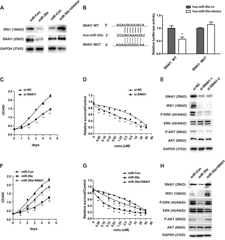 MiR-30a functions as tumor suppressor partly through SNAI1/IRS1/AKT/ERK pathway. a The effect of miR-30a modulation (miR-con, miR-30a and miR-30a inhibitor) on IRS1 and SNAI1 protein expression by western blot analysis in SW1990 cells. b MiR-30a targets SNAI1 directly. Representative seed sequences for miR-30a on the SNAI1 3′UTR was shown (left). 293T cells were transiently transfected with pmirGlo plasmids encoding wild-type or mutated 3′UTR sequences of SNAI1, and oligos. Luciferase activities were then measured 24 h after transfection (right). Firefly luciferase was normalized to Renilla luciferase. The data are represented as mean ± SEM ( n = 3). c – e Knockdown of SNAI1 by transfection of two different SNAI1 siRNAs (si-SNAI1–1, si -SNAI1–2) in SW1990 cells. Cell growth ( c ) and gemcitabine sensitivity ( d ) were tested by MTS assay. Downstream proteins of SNAI1 were examined by western blot ( e ). * P