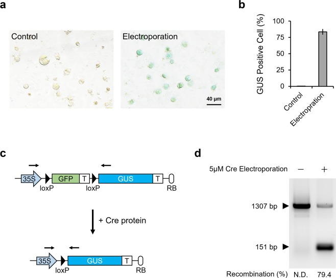 Quantification of protein delivery efficiency. ( a ) GUS staining of protoplasts constructed from electroporated T87-xGxGUS cells. Cells were electroporated with 5 µM of Cre protein, dissolved in Opti-MEMI, using 5 poring pulses of 375 V/cm for 10 ms. Protoplasts were constructed and stained 2 days after electroporation. Control indicates unelectroporated T87-xGxGUS cells. Scale bar represents 40 μm. ( b ) Quantification of the percentage of GUS positive cells from ( a ). Values shown are the mean ± SE of n = 3. In total, 254 and 288 cells were used for the quantification of control and electroporation samples, respectively. ( c ) Schematic of Cre reporter design before and after Cre-mediated recombination. Black arrows indicate primer binding sites. GFP and GUS indicate green fluorescent protein and ß-glucuronidase, respectively. (d) Agarose gel electrophoresis of genomic DNA PCR products from T87-xGxGUS cells. The 1307 bp and 151 bp fragments represent the reporter gene cassette before and after Cre-mediated recombination, respectively. A full-length gel image is presented in Supplementary Figure 6 .
