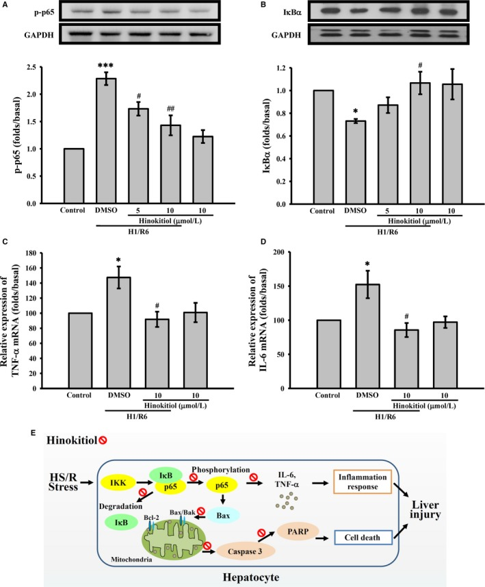Effects of hinokitiol on H1/R6‐induced inflammation in primary hepatocytes. Primary hepatocytes were incubated with DMSO or hinokitiol (5 or 10 μmol/L) prior to H1/R6. Cells were collected, and subcellular extracts were analysed through immunoblotting. Specific antibodies were used to dectect (A) p65, and (B) IκBα expression. The mRNA levels of (C) TNF ‐α and (D) IL ‐6 were determined through real‐time PCR . Each sample was examined in triplicate, and the amounts of the PCR products produced were normalized to GAPDH , as an internal control. Data are presented as the means ± SEM (n = 4). * P