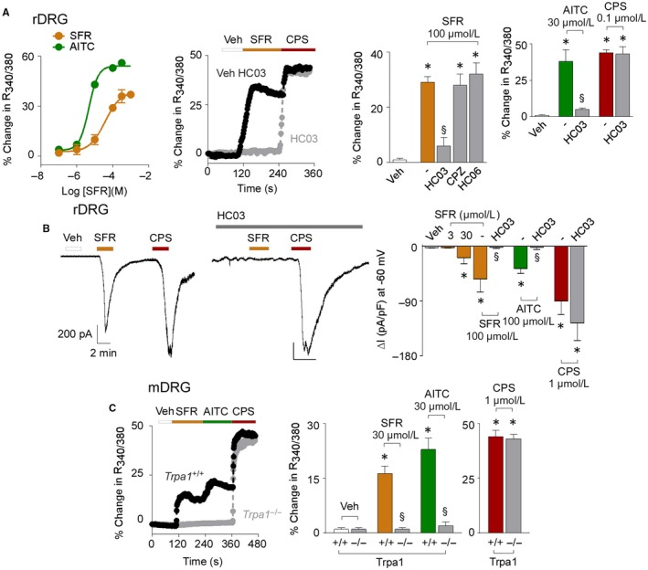 Safranal ( SFR ) selectively activates TRPA 1 in rodent primary sensory neurons. A, Concentration response curves of the calcium mobilization evoked by SFR and AITC in rat DRG ( rDRG ) neurons. Representative traces and pooled data of calcium response evoked by SFR , AITC and capsaicin ( CPS ) in rDRG neurons pre‐exposed to HC ‐030031 ( HC 03, 50 μmol/L), capsazepine ( CPZ ; 10 μmol/L), HC ‐067047 ( HC 06; 30 μmol/L) or their vehicles (‐). B, Representative traces and pooled data of whole‐cell patch‐clamp inward currents evoked by SFR , AITC and CPS in rDRG neurons. HC 03 does not affect the responses evoked by CPS . C, Representative traces and pooled data of the calcium responses evoked by SFR or AITC in mouse DRG ( mDRG ) neurons from Trpa1 +/+ and Trpa1 −/− mice. Veh is the vehicle of SFR . Dash (‐) indicates vehicles of the different treatments. Data are mean ± SEM of n > 20 cells from 4 to 6 independent experiments (A, C) and n > 3 cells from 3 to 5 independent experiments (B). * P