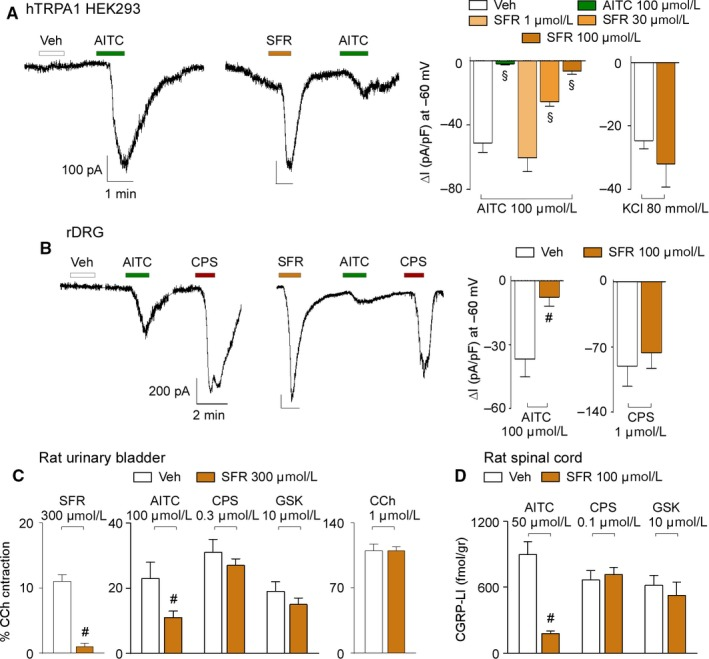 Safranal ( SFR ) causes desensitization. A, Representative traces and pooled data of whole‐cell patch‐clamp inward currents of the concentration dependant desensitization induced by SFR in response to AITC and KC l in hTRPA 1 HEK 293. B, Representative traces and pooled data of whole‐cell patch‐clamp inward currents of the desensitization induced by SFR in response to AITC and capsaicin ( CPS ) in rat DRG ( rDRG ) neurons. C, Pooled data of the desensitization induced by SFR in the contractile response evoked by SFR , AITC , CPS , GSK and carbachol ( CC h). D, Pooled data of the desensitization induced by SFR in CGRP ‐ LI release from rat spinal cord evoked by AITC , CPS and GSK . Veh is the vehicle of SFR . Data are mean ± SEM of n > 3 cells from 3‐5 independent experiments (A, B) and 4‐6 independent experiments (C, D). § P