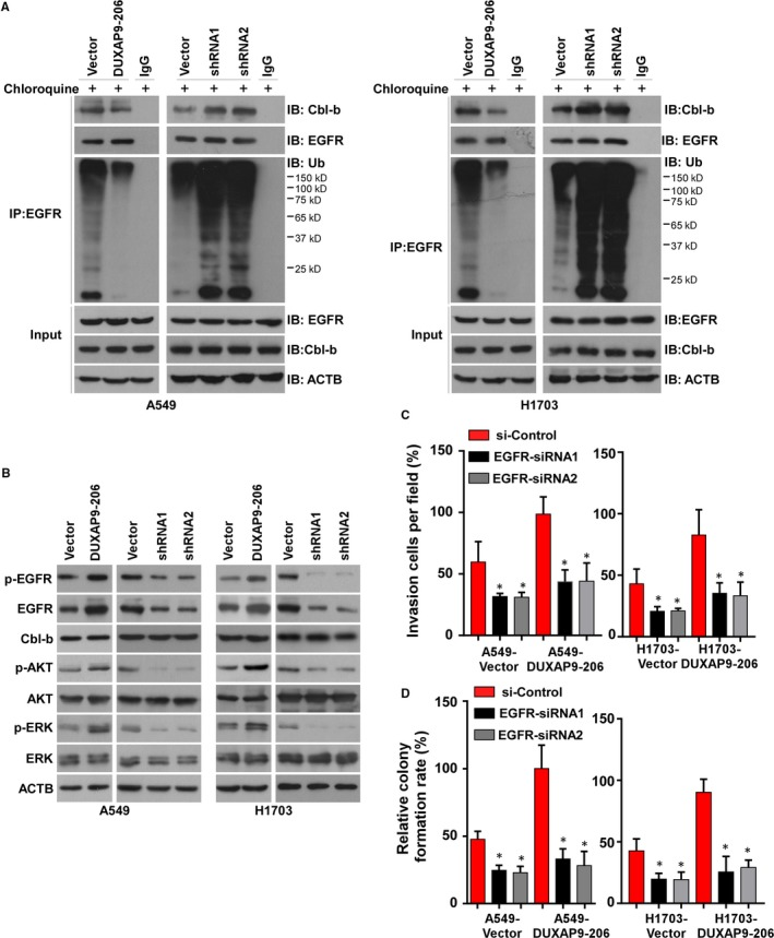 DUXAP 9‐206 interacts with Cbl‐b to reduce the degradation of EGFR . (A) The interaction between EGFR and Cbl‐b with DUXAP 9‐206 overexpression or knockdown was assessed by Co‐ IP assays. (B) Western blotting analysis of the expression levels of Cbl‐b and the EGFR signaling pathway downstream molecules p‐ AKT , AKT , p‐ ERK and ERK with ectopic expression or silencing of DUXAP 9‐206. Quantification of invading cells (C) and colony formation ability (D) in vector‐ and DUXAP 9‐206‐overexpressing cells by silencing of EGFR