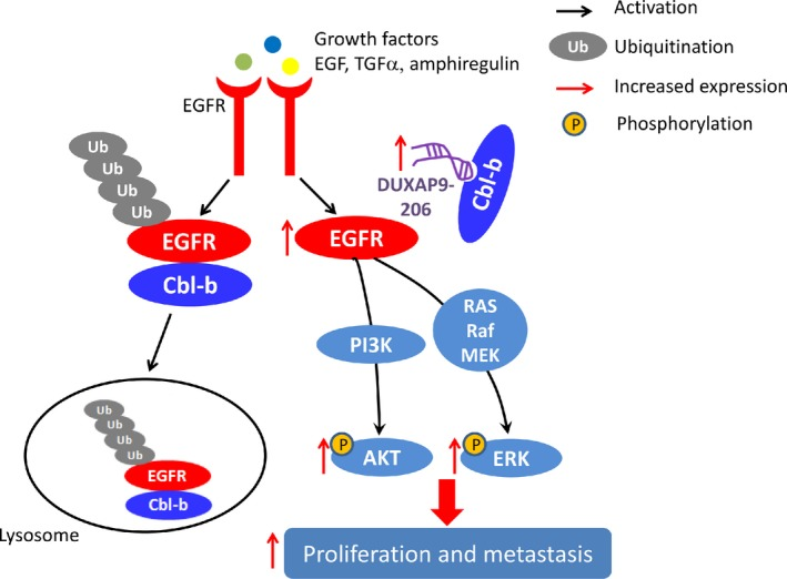 Proposed functional action of DUXAP 9‐206 in modulating NSCLC proliferation and metastasis. Lnc RNA DUXAP 9‐206 directly binds with Cbl‐b to augment EGFR signaling and promotes non‐small cell lung cancer progression