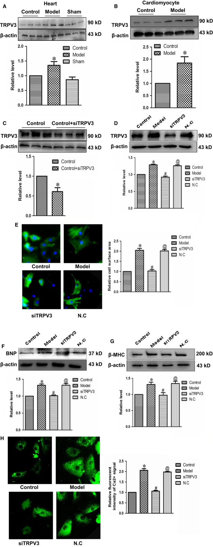 TRPV 3 activation promoted cardiac hypertrophy. (A and B) The expressions of TRPV 3 protein were measured in vivo and in vitro. (C and D) Successfully silencing TRPV 3 by transfecting TRPV 3‐si RNA sequence into cultured cardiomyocytes. (E) Silencing TRPV 3 reduced the surface area of cardiomyocytes (×200) treated with Ang II . (F and G) Silencing TRPV 3 suppressed the expressions of BNP and β‐ MHC protein in cardiomyocytes treated with Ang II . (H) Relative fluorescence intensity of Ca 2+ signal was recorded by laser scanning confocal microscope. Data were represented by mean ± SEM . (n = 3) * P