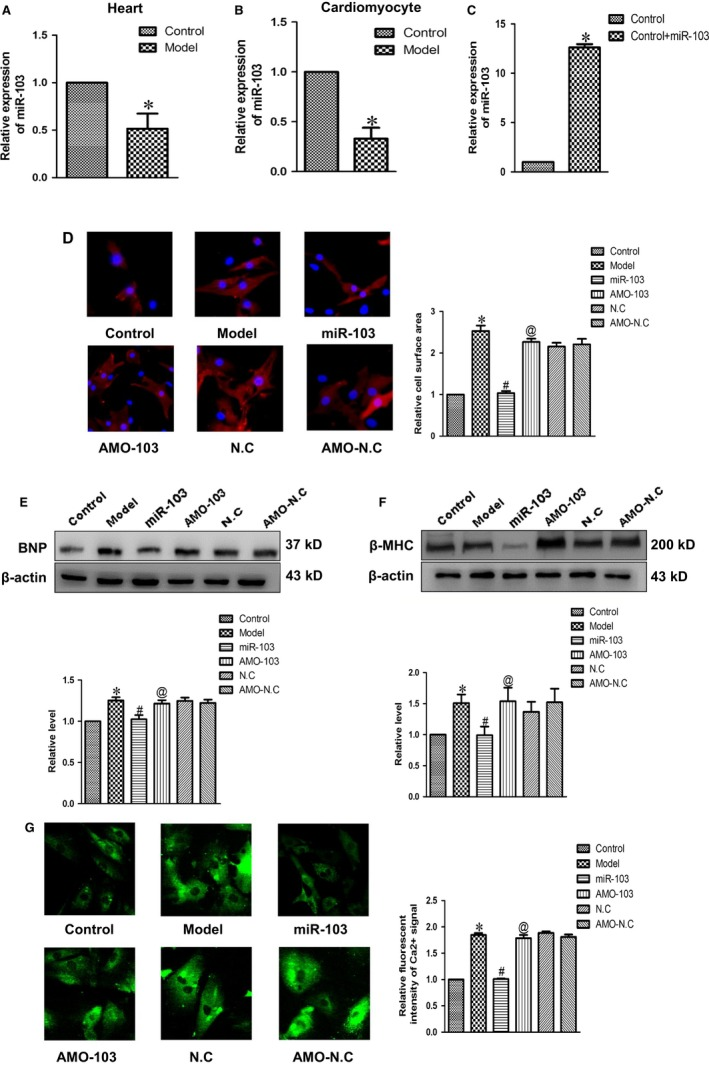 The effect of miR‐103 on cardiac hypertrophy. (A and B) The expressions of miR‐103 in cardiac hypertrophy models in vivo and in vitro were assayed by quantitative real‐time PCR analysis. U6 was used as an internal control. (C) Expression level of miR‐103 in cardiomyocytes transfected with scramble or miR‐103 mimics. (D) Representative photographs of immunofluorescence staining (×200) and statistical histogram of cardiomyocyte area. (E and F) The expressions of BNP and β‐ MHC proteins were measured in cultured cardiomyocytes. (G) Forcing overexpression of miR‐103 repressed relative fluorescence intensity of Ca 2+ signal in cultured cardiomyocytes challenged by Ang II . Data were represented by mean ± SEM (n = 3). * P