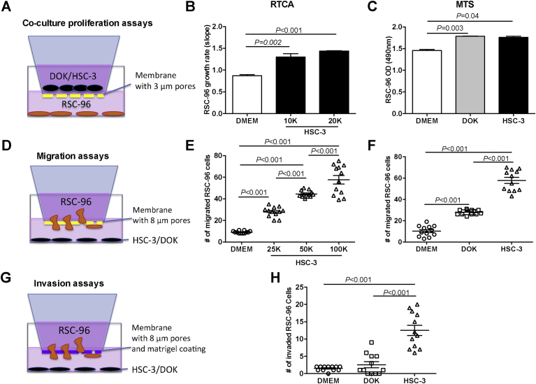 Oral SCC promotes Schwann cell proliferation, migration, and invasion. (A) To study the effect of HSC-3 or DOK cells on Schwann cell proliferation, RSC-96 cells were cultured in the lower chamber, while either DOK or HSC-3 cells were cultured in the cell inserts. (B) Growth rate of RSC-96 cells measured by the RTCA, increased with HSC-3 cell number. (C) Optical density (OD) measured using the MTS assay increased when RSC-96 cells were co-cultured with DOK or HSC-3 cells compared to DMEM alone. Kruskal-Wallis with Dunn's test. (D) To study the effect of HSC-3 or DOK cells on RSC-96 migration, RSC-96 cells were cultured in a migration chamber. Either HSC-3 or DOK cells were seeded in the bottom chamber. (E) Migration of RSC-96 cells towards HSC-3 cells increased in a cell number dependent manner. (F) Increased numbers of RSC-96 cells migrated toward HSC-3 cells compared to DOK or DMEM. (G) To study effect of HSC-3 or DOK cells on RSC-96 invasion, RSC-96 cells were cultured in invasion chambers. Either HSC-3 or DOK cells were seeded in the bottom chamber. (H) Increased numbers of invaded RSC-96 cells towards HSC-3 compared to DOK or DMEM. One-way ANOVA with Tukey's post hoc analysis.