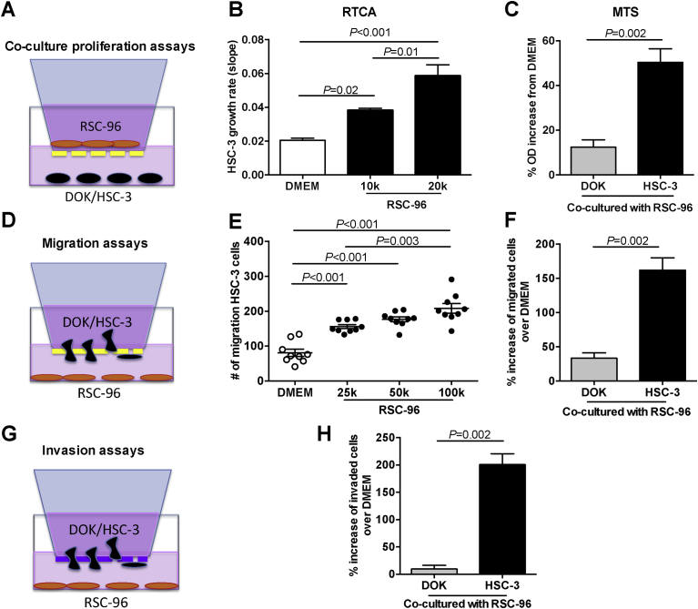 Schwann cells promote oral SCC proliferation, migration, and invasion. (A) To study the effect of RSC-96 cells on proliferation, HSC-3 or DOK cells were cultured in the lower chamber, and RSC-96 cells were cultured in the cell inserts. Cell culture media DMEM in the lower chamber was used as control. (B) Growth rate of HSC-3 cells, measured with the RTCA, increased with RSC-96 cell number. (C) HSC-3 cells proliferated more than DOK when co-cultured with RSC-96 cells. Data are presented as a percentage increase in OD from DMEM treated controls. (D) To study the effect of RSC-96 on cancer cell migration, HSC-3 or DOK cells were cultured in migration chambers with RSC-96 cells or DMEM (control) in the bottom chamber. (E) HSC-3 cells migrated towards RSC-96 cells in a cell number dependent manner. (F) HSC-3 cells migrated more than DOK towards RSC-96 cells. Data are presented as a percentage increase in number of migrated cells towards RSC-96 relative to DMEM controls. (G) To study effect of RSC-96 cells on cancer cell invasion, HSC-3 and DOK cells were cultured in invasion chambers with RSC-96 cells seeded at the bottom chamber. Bottom chambers containing DMEM alone were used as controls. (H) Increased invasion of HSC-3 cells compared to DOK cells in the presence of RSC-96 cells. Data are presented as percentage increase in number of invaded cells towards RSC-96 relative to DMEM treated controls. B, E, one-way ANOVA with Tukey's post hoc analysis; C, Mann-Whitney U-test, F, H, student's t-test.