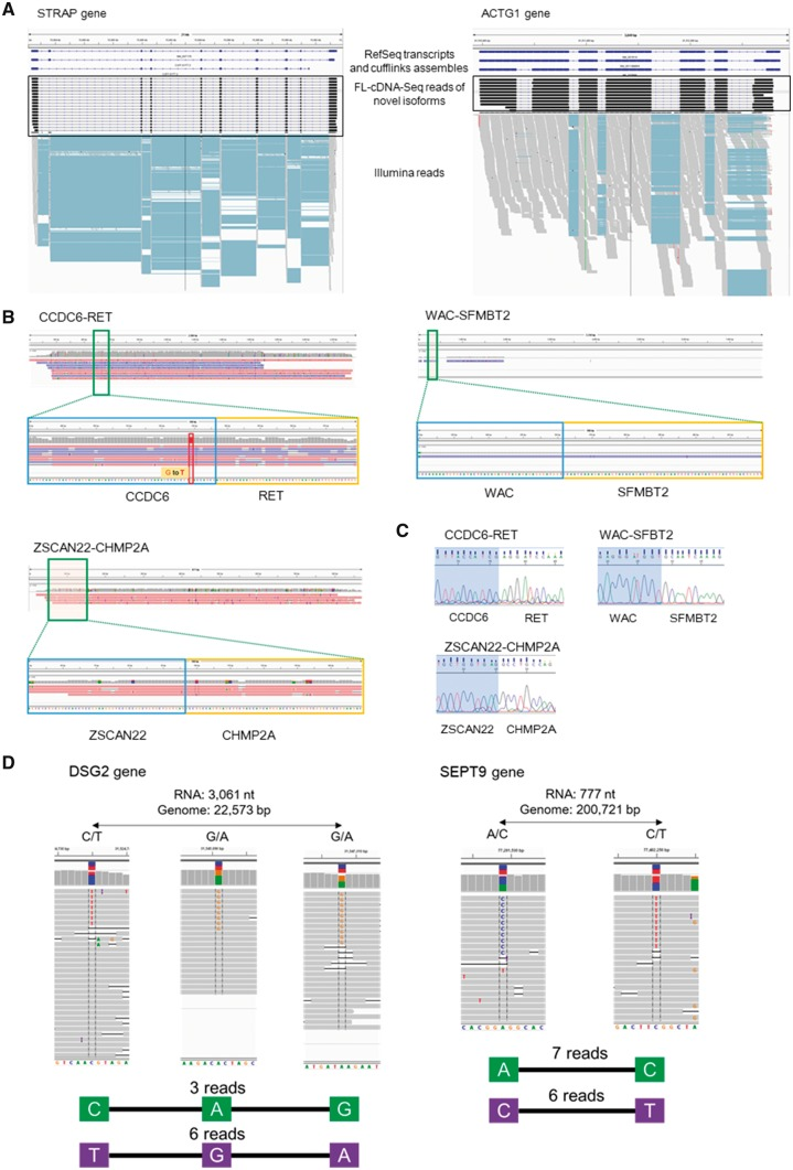 Applications of MinION transcriptome sequencing. (A) Novel isoforms of the STRAP gene (left) and the ACTG1 gene (right). RefSeq transcripts and cufflink assembles using Illumina RNA-Seq are shown in the upper panel. FL-cDNA-Seq reads annotated as novel isoforms are shown in the middle panel. Illumina RNASeq reads are shown in the lower panel. (B) Three fusion genes detected by FL-cDNA. CCDC6-RET is known as a fusion gene of LC2/ad. Only the fusion chromosome of CCDC6-RET harbors a G to T SNP. WAC-SFMBT2 and ZSCAN22-CHMP2A were detected on LC2/ad and PC-9, respectively. (C) Sanger sequencing of the three fusion junctions. (D) Phased hetero SNP by FL-cDNA-Seq reads. We exemplified two phased genes, DSG2 (left) and SEPT9 (right), detected by the R9.4 reads of LC2ad. The distance between the phased SNP on the transcript and genome and hetero SNP patterns are shown at the top. The FL-cDNA-Seq reads are shown in the middle. The phased SNP pattern and number of reads covering all the SNPs are shown at the bottom.
