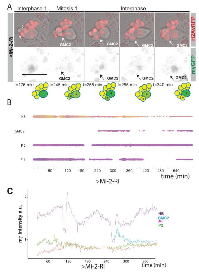 Expression of Ε(spl)mγ-GFP in GMCs upon Mi-2 depletion in NB lineages. ( A ) Time points from a time lapse movie of LacZ; Mi-2-Ri NB lineages (dissociated from larval brains with grhNBGal4 Gal80ts at the permissive temperature for 24 hr). Ε(spl)mγ-GFP is switched off in emerging GMCs as in WT lineages. Upper panels, bright field images of NB and its progeny combined with Histone-RFP (red, H2Av-RFP) to monitor cell cycle stages; lower panels, expression of Ε(spl)mγ-GFP (black). Time is depicted below each panel along with cartoons of the lineages where NBs are in darker shades of green, emerging GMCs with low expression of Ε(spl)mγ-GFP in light green and GMCs with no expression of E(spl)mγ-GFP in yellow. Asterisks indicate progeny from same ancestor cell. Numbers correspond to different cells indexed in B. Scale bar 25 μm. ( B ) Bar chart depicting progression of each cell in a Mi-2-Ri NB lineage, bar thickness indicates cell-size and the colour represents Ε(spl)mγ-GFP levels according to the scale (blue low levels, yellow high levels). Dashed lines mark mitotic events linking to the emerging daughter cells. ( C ) Plot of Ε(spl)mγ-GFP levels in NBs, newly born GMCs and progeny in > LacZ; Mi-2-Ri . Note that Ε(spl)mγ-GFP levels decay in newly born GMCS in > LacZ; Mi-2-Ri lineages.