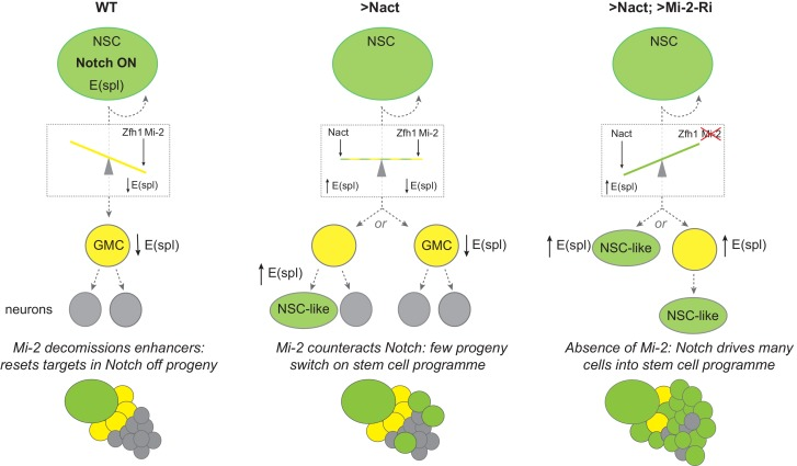 Model summarizing the role of Mi-2 in decommissioning Notch-responsive enhancers in NB progeny. The presence of Zfh1 and Mi-2 favours the decommissioning of enhancers from E(spl) and other Notch target genes in GMCs (yellow) to ensure their expression is switched off. Notch is on in NBs (green) and off in GMCs (yellow cells) due to asymmetrical segregation of Numb (ref). GMCs divide to produce two post-mitotic neuronal cells (grey). In NB lineages with constitutive Notch activity (Nact), the presence of Mi-2 at enhancers, recruited by Zfh1 (and potentially by other factors too), is sufficient to attenuate Nact, so that E(spl) and other target genes are switched off in GMCs. In a few NB progeny the effects of Mi-2 are overcome with time, and E(spl) genes are up-regulated as they revert to NB-like cells. Depletion of Mi-2 in NB lineages expressing Nact severely compromises enhancer decommissioning so that E(spl) and other Notch target genes are upregulated in many of the GMCs. The majority of the NB progeny acquire an NB-like fate. SUPPLEMENTARY MATERIAL: Legends for videos.