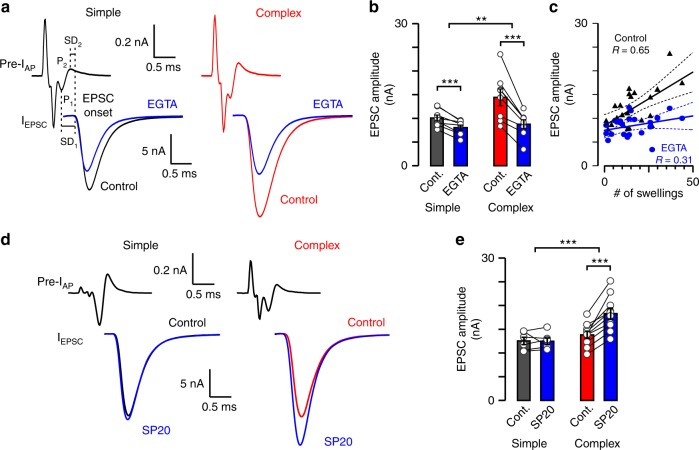 Synaptic strength is more sensitivity to EGTA and downregulated by septin 5 in complex calyces. a Presynaptic compound action potential currents (pre-I AP ) and EPSCs (I EPSC ; axonal stimulation) were tested in control (black, simple calyx; red, complex calyx) and after EGTA injection (blue, 10 mM, 3–5 min loading). SD 1 (interval between peak 1 of pre-I AP and EPSC onset) and SD 2 (interval between peak 2 of pre-I AP and EPSC onset; dashed lines) are synaptic delays. b Bar graphs show EGTA effect on EPSC amplitudes (simple, control, 10.05 ± 0.64 nA, EGTA, 8.06 ± 0.55 nA, n = 8/7, t = 5.762, p = 0.0007, df = 7, paired t -test [p.t.t.]; complex, control, 14.44 ± 1.76 nA, EGTA, 8.77 ± 0.93 nA, n = 8/8, t = 5.558, p = 0.0009, df = 7, p.t.t.). The difference in EGTA effect on simple and complex calyces was quantified as EGTA/control (simple, 0.802 ± 0.032, n = 8/7, complex, 0.616 ± 0.042, n = 8/8, t = 3.552, p = 0.0032, df = 14, unpaired t -test [u.t.t.]). c EPSC amplitudes for all EGTA injected synapses were plotted against swelling number (black triangles, control; blue dots, EGTA) and fitted linearly (mean ± 95% confidence interval). d , Pre-I AP and I EPSC were tested in control (black, simple calyx; red, complex calyx) and after septin 5 antibody injection (blue, SP20, 1:1000, 3–5 min loading). e Bar graphs show SP20 effect on EPSC amplitudes 10–15 min after presynaptic pipette removal (simple, control, 12.53 ± 0.77 nA, SP20, 12.46 ± 0.70 nA, n = 6/4, t = 0.1137, p = 0.914, df = 5, p.t.t.; complex, control, 13.83 ± 0.76 nA, SP20, 18.29 ± 1.17 nA, n = 10/8, t = 6.808, p