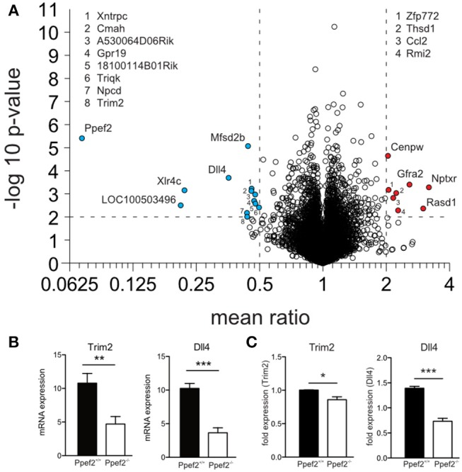 RNA-sequencing reveals changes in RNA-expression of Ppef2 −/− CD8 + cDC1. (A) CD8 + DCs were purified by flow cytometry from cell suspensions of 3 pooled spleens as live MHCII + CD11c + CD11b − CD8 + cells to purity of > 95%. 15 spleens from Ppef2 +/+ or Ppef2 −/− mice were used to generate 5 samples each for RNA-sequencing. Shown is the volcano plot analysis of sorted CD8 + DCs. Fold change of−2 (a, blue) and +2 (a, red), and a p -value ≤ 0.01 were chosen as cut-off. Ppef2, protein phosphatase EF-hands 2; LOC100503496, uncharacterized transcript LOC100503496; Xlr4c, X-linked lymphocyte-regulated 4C; Dll4, delta-like ligand 4; Trim2, tripartite motif-containing 2; Npcd, neuronal pentraxin chromo domain; Mfsd2b, major facilitator superfamily domain containing 2B; Cmah, cytidine monophospho-N-acetylneuraminic acid hydroxylase; Xntrpc, Xndc1-transient receptor potential cation channel, subfamily C, member 2; A530064D06Rik, Riken cDNA A530064D06 gene; 1810014B01Rik, Riten cDNA 1810014B01 gene; Triqk, triple QxxK/R motif containing; Nptxr, neuronal pentraxin receptor; Rasd1, RAS, dexamethasone-induced 1; Gfra2, glial cell line derived neurotrophic factor family receptor alpha 2; Rmi2, RMI2, RecQ mediated genome instability 2; Thsd1, thrombospondin, type I, domain 1; Ccl2, chemokine (C-C motif) ligand 2; Zfp772, zinc finger protein 772; Cenpw, centromere protein W. (B) Boxplots represent normalized expression with 0,1 quantile, 0.9 quantile and all single points (each group n = 5) ** p