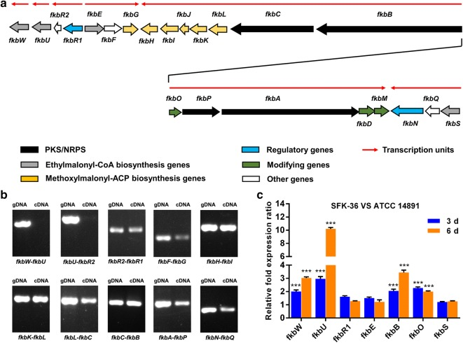 Transcriptional analysis of ascomycin biosynthetic gene cluster in S. hygroscopicus . a Genetic organization of co-transcription units in ascomycin biosynthetic gene cluster. b Co-transcriptional analysis of the ascomycin biosynthetic gene cluster by RT-PCR. Genomic DNA (gDNA) and cDNA of S. hygroscopicus 14891 strain were used for PCR amplification. c Relative expression levels of ascomycin biosynthetic gene cluster in S. hygroscopicus SFK-36, compared with those in ATCC 14891 strain. Totally, seven genes were selected to indicate the expression level of co-transcription units (***P