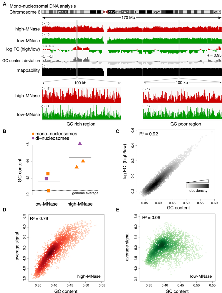 MNase sequence preferences dominate differential chromatin fragmentation. ( A ) Genome browser plot showing the nucleosome occupancy distribution along chromosome 6. Differences of high- and low-MNase digestions were calculated as log 2 fold changes (log FC) of the average profile intensity in 1 Mb non-overlapping windows. GC content variation is displayed as the deviation from the genome wide average (40.5%). R is the Pearson correlation coefficient determined for the log FC (high/low) and the GC content deviation. The mappability track at the bottom illustrates how uniquely 100mer sequences align to a region of the genome ( 41 ). ( B ) Average GC content of isolated mono- and di-nucleosomal fragments. The genome wide GC average is indicated by the dashed line. (C–E) Genome wide correlation of GC content und nucleosome occupancy profiles. Dots represent 1 Mb non-overlapping windows; the coefficient of determination (R 2 ) refers to the result of a simple linear regression between GC content and the average signal of ( C ) log FC of high-MNase versus low-MNase, ( D ) high-MNase, ( E ) low-MNase.