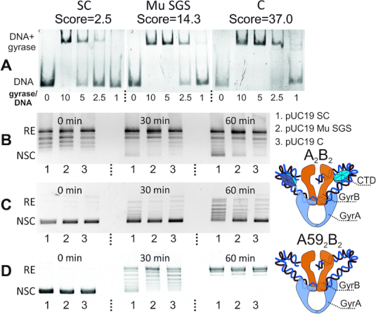 <t>DNA</t> gyrase behavior depends on a DNA substrate gyrase binding score. ( A ) EMSA analysis of DNA gyrase binding with 133 bp fragments; fragments scores are showed above the pictures; molar gyrase/DNA ratio is indicated under the lanes. SC—scrambled consensus, C—consensus. ( B ) Time-course of gyrase supercoiling of <t>pUC19</t> plasmids harboring indicated 133 bp fragments; RE—relaxed plasmid, NSC—negatively supercoiled plasmid. 1—scrambled consensus, 2—Mu SGS, 3—consensus. ( C ) Time-course of ATP-independent relaxation of pUC19 plasmids harbouring indicated 133 bp fragments. ( D ) Time-course of ATP-dependent relaxation of the same plasmids by truncated GyrA59 2 GyrB 2 gyrase lacking CTD.