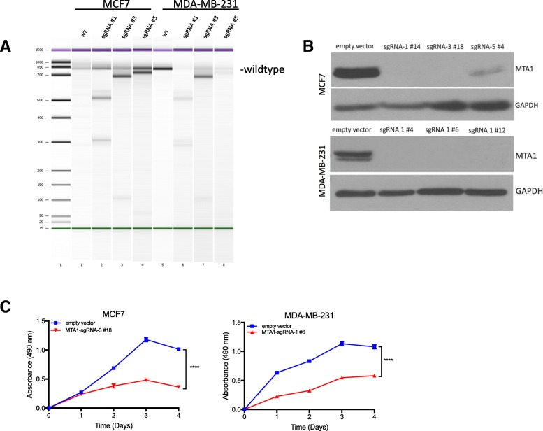 <t>CRISPR/Cas9</t> deletion of MTA1 in breast cancer cells. a . T7 endonuclease assay PCR results. Electropherogram of the T7 endonuclease digestion of MTA1 genomic PCR products visualized on an Agilent Bioanalyzer DNA 1000 Chip. Due to location of <t>sgRNA</t> target site, digestion of PCR products was predicted to generate the following fragments: wildtype 800 bp, sgRNA #1: 500 and 310 bp, sgRNA#3: 700 and 100 bp, and sgRNA #5: 760 and 40 bp. b . Western blot of MTA1 in MCF7 and MDA-MB-231 MTA1 knockout cells. GAPDH is included as an equal loading control. c . Cell proliferation assay of MCF7 and MDA-MB-231 knockout cells, compared to cells expressing an empty vector, n = 4 **** p