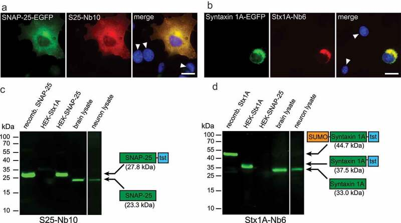 Specificity test for the selected nanobodies in immunofluorescence and Western Blots. ( a b ) COS-7 cells transiently transfected with SNAP-25-EGFP or Syntaxin 1A-EGFP were stained with S25-Nb10 or Stx1A-Nb6 conjugated with a single Atto647N fluorophore. The nanobody signal correlates with the EGFP signal and shows no staining in untransfected cells (revealed by Hoechst-nuclear staining; white arrowheads). The scale bar represents 10 µm. Note that Syntaxin 1A accumulates in the ER-Golgi region due to an impaired export caused by the lack of neuronal cofactors, as it was found in the past 30 ( c d ) The following samples were loaded in a denaturating SDS-PAGE and were blotted on a nitrocellulose membrane (2 µg of each purified protein, and 20 µg of total protein for the cell or brain lysates): E. coli- purified full length SNAP-25 including a Twin-Strep-Tag (tst; 27.8 kDa), or Syntaxin 1A fused to a SUMO domain and a Twin-Strep-Tag (44.7 kDa); lysates from HEK293 cells transiently transfected with full length Syntaxin 1A-tst (HEK-Stx1A, 37.5 kDa) or SNAP-25-tst (HEK-SNAP-25, 27.8 kDa); whole rat brain and rat primary hippocampal neurons (15 days in vitro ). Detection was performed using S25-Nb10 ( c ) or Stx1A-Nb6 ( d ) conjugated to a single Atto647N. Both candidates specifically detect the bands at the expected molecular weights (displayed in the protein schematics), while showing no cross-reactivity to the opposite antigen or to any other proteins present in the lysates.