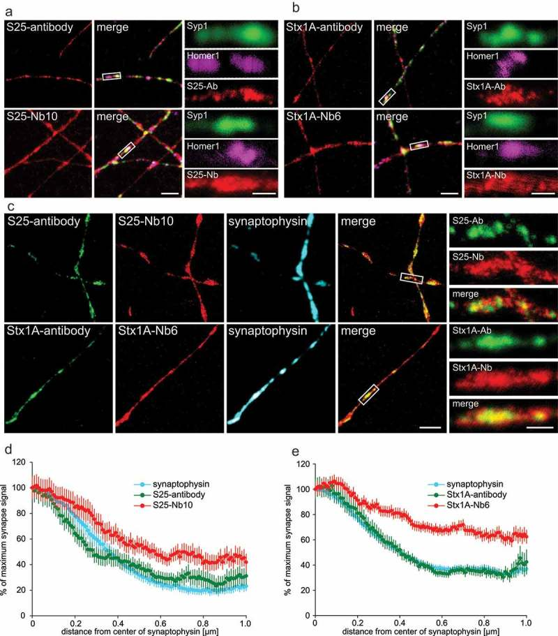 STED microscopy shows that nanobodies detect an extra-synaptic population of SNAP-25 and Syntaxin 1A in primary hippocampal neurons. ( a b ) Cultured neurons (14–16 days in vitro ) were co-stained with SNAP-25 or Syntaxin 1A monoclonal antibodies (clone 71.1 or 78.2, respectively) or with the nanobodies bearing Atto647N fluorophores (in red) and with the pre-synaptic marker antibodies against Synaptophysin 1 (Syp1) and the post-synaptic marker Homer1. The merge panels display the synaptic markers and the other co-stained protein in red. Zoomed region of synapses suggest that antibodies and nanobodies are enriched at synapses, but the signals from the nanobodies are also present in extra-synaptic areas. The scale bars represent 2 µm and 500 nm in the low and high zoom, respectively. ( c ) For two-color STED microscopy, primary neurons were co-stained using the same monoclonal antibodies as in ( a ), detected using a secondary antibody conjugated to Abberior-Star580 and with the nanobodies coupled to Atto647N. Synapses were located in confocal mode with Synaptophysin antibodies as in ( a ). The merge panel only includes the two STED channels for simplicity. The zoomed areas show each channel and the overlap of both antibody and nanobody STED signals. The scale bars represent 2 µm and 500 nm in the low and high zoom, respectively. ( d e ) Analysis of the signal distribution up to 1 µm from the center of a synapse (determined by the center of mass of the Synaptophysin staining). We analyzed 176 synapse line scans from six independent experiments for SNAP-25 and 632 synapse line scans from six independent experiments for Syntaxin 1A. The nanobody signals are significantly higher than the antibody signals outside synapses for both experiments (Wilcoxon rank sum tests; p = 0.0016 for SNAP-25; p