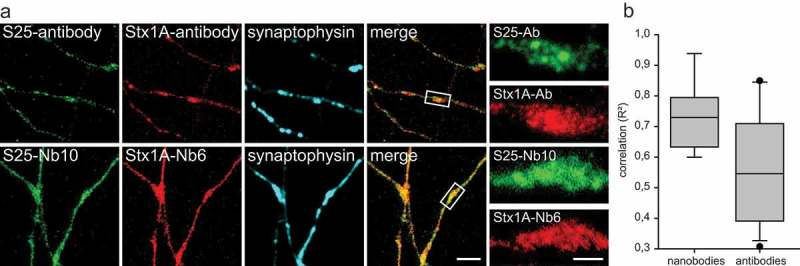 Co-localization between SNAP-25 and <t>Syntaxin</t> 1A, detected by antibodies or nanobodies in STED microscopy. ( a ) Co-staining for SNAP-25 and <t>Syntaxin</t> 1A in primary hippocampal neurons. A polyclonal rabbit antibody against SNAP-25 and a mouse monoclonal against Syntaxin 1A were used. Rabbit anti SNAP-25 was further detected with a secondary antibody conjugated to Abberior-Star580; Syntaxin 1A primary antibody was detected with an Atto647N-conjugated secondary antibody. Nanobody co-staining was performed with S25-Nb10 conjugated to Abberior-Star580 and with Stx1A-Nb6 conjugated to Atto647N. The scale bars represent 2 µm and 500 nm in the low and high zoom, respectively. ( b ) Pearson´s correlation coefficients (expressed as coefficients of determination, R 2 ) between the green and red signals within synapses were calculated from 17 independent experiments for the antibodies and from 9 independent experiments for the nanobodies (typically, 10 images per experiment were analyzed). The values are shown as box plots, with the median, 25th and 95th percentile shown in the graph, and with symbols showing outliers. The difference is significant (Wilcoxon rank sum test; p = 0.0311).